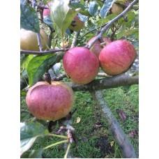 Apples Fiesta per pack of 5