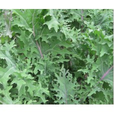 Red Russian kale 160 gm