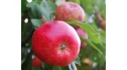 Apples red per pack of 5