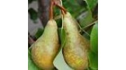 Pears Conference x3  - large